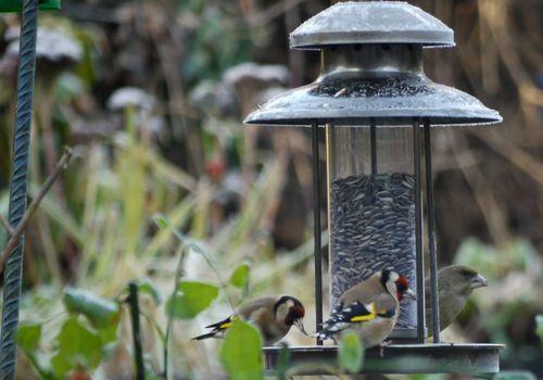 http://serveur2.archive-host.com/membres/images/1336321151/bestioles/oiseaux/68/chardon-0.jpg
