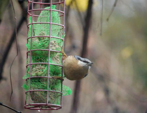 http://serveur2.archive-host.com/membres/images/1336321151/bestioles/oiseaux/68/sitelle-1.jpg