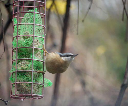 http://serveur2.archive-host.com/membres/images/1336321151/bestioles/oiseaux/68/sitelle-2.jpg