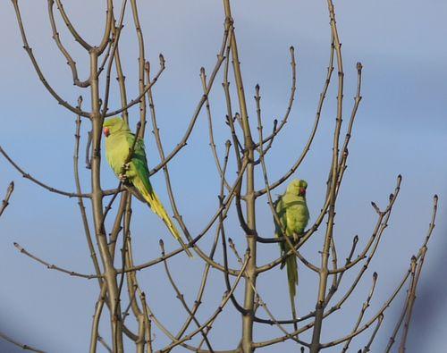 http://serveur2.archive-host.com/membres/images/1336321151/bestioles/oiseaux/perruche/20140107_2perruches.jpg