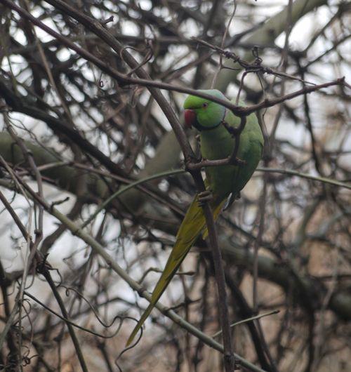 http://serveur2.archive-host.com/membres/images/1336321151/bestioles/oiseaux/perruche/20140107_perruche.jpg