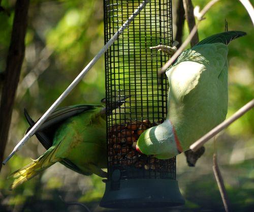 http://serveur2.archive-host.com/membres/images/1336321151/bestioles/oiseaux/perruche/perruche-0.jpg