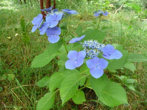 http://serveur2.archive-host.com/membres/images/1336321151/fleurs/hortense/h2-0.jpg