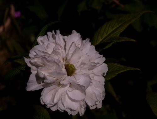http://serveur2.archive-host.com/membres/images/1336321151/fleurs/ronces/rosifolius.jpg