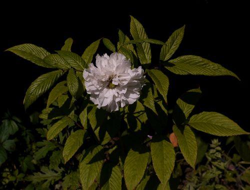 http://serveur2.archive-host.com/membres/images/1336321151/fleurs/ronces/rosifolius1.jpg