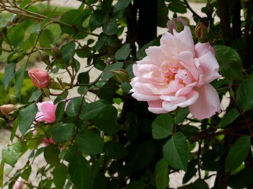 http://serveur2.archive-host.com/membres/images/1336321151/fleurs/roses/Albertine/a0.jpg