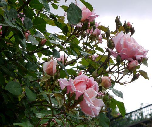 http://serveur2.archive-host.com/membres/images/1336321151/fleurs/roses/Albertine/a1.jpg